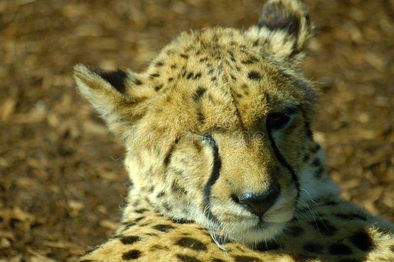 Un Leopardo Dell Occhio Immagini Stock Libere da Diritti