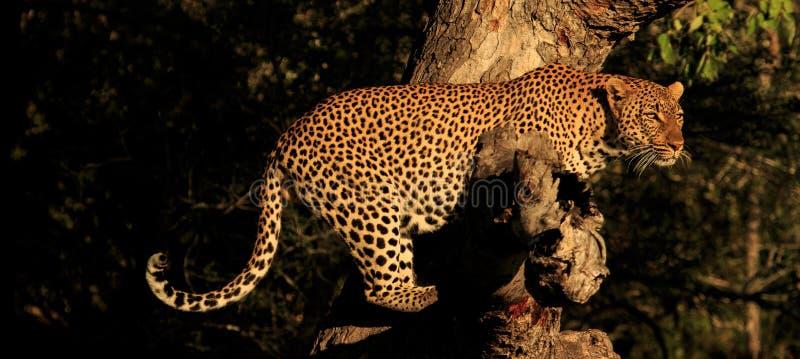 Un leopardo en un miembro imagenes de archivo
