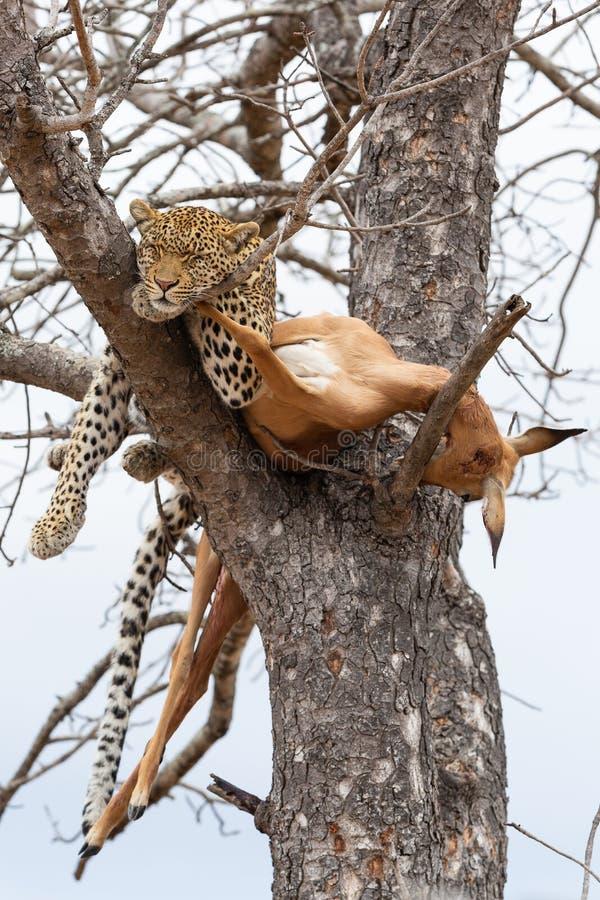 Un leopardo femenino que duerme al lado de su matanza del impala en árbol fotografía de archivo libre de regalías