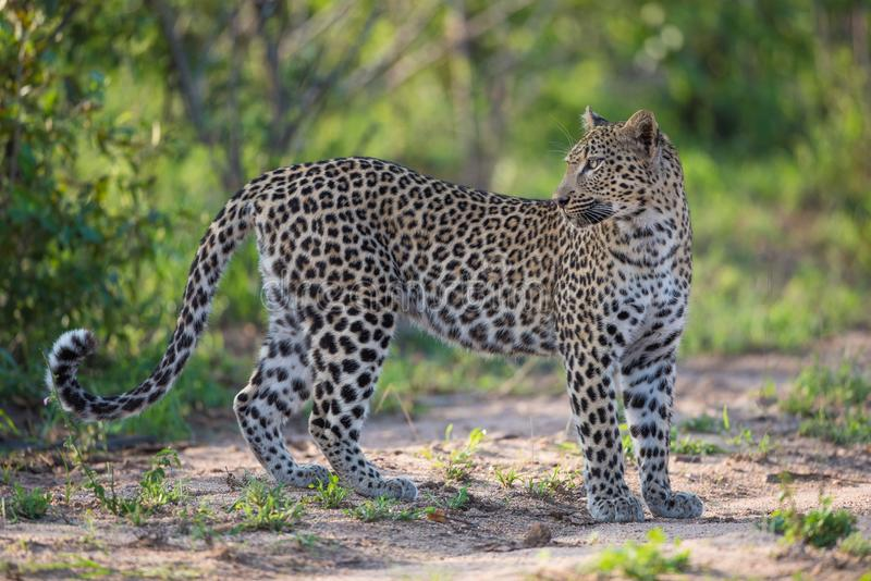Un leopardo hembra que mira sobre su hombro foto de archivo libre de regalías