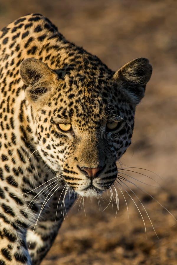 Un leopardo masculino joven acechado hacia nosotros foto de archivo