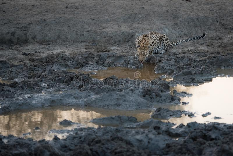 Un leopardo que bebe en una disminución, piscina fangosa foto de archivo libre de regalías
