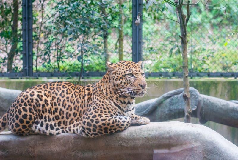 Un leopardo que se sienta en la rama artificial en el parque zoológico que mira la otra manera fotos de archivo