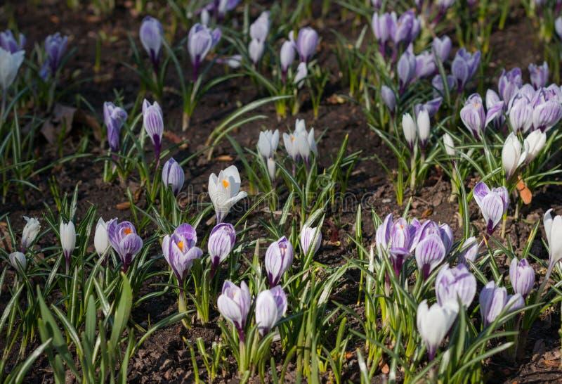 Un letto dei fiori del croco nella stagione del giardino o del parco in primavera immagini stock