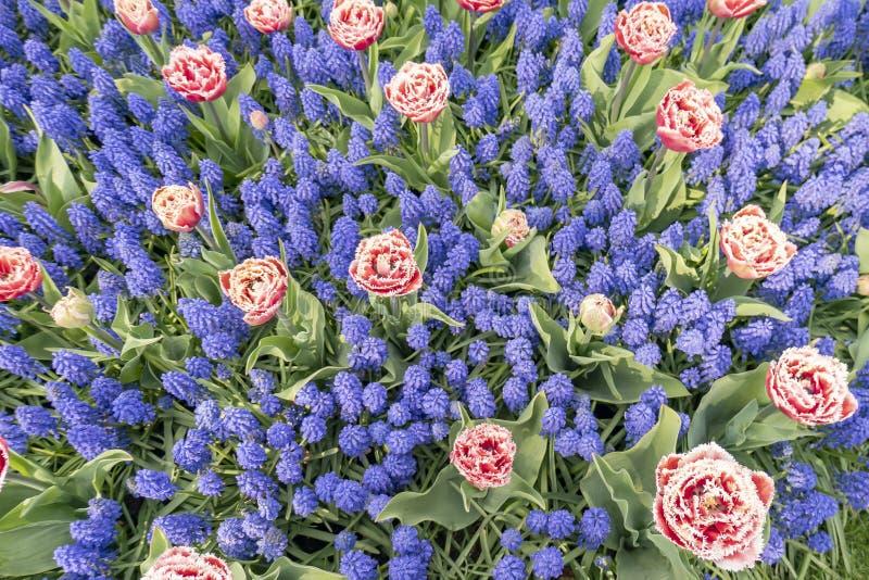 Un letto di fiore con i tulipani rosa con gli arricciamenti bianchi con il muscari blu, fotografato da sopra fotografia stock libera da diritti