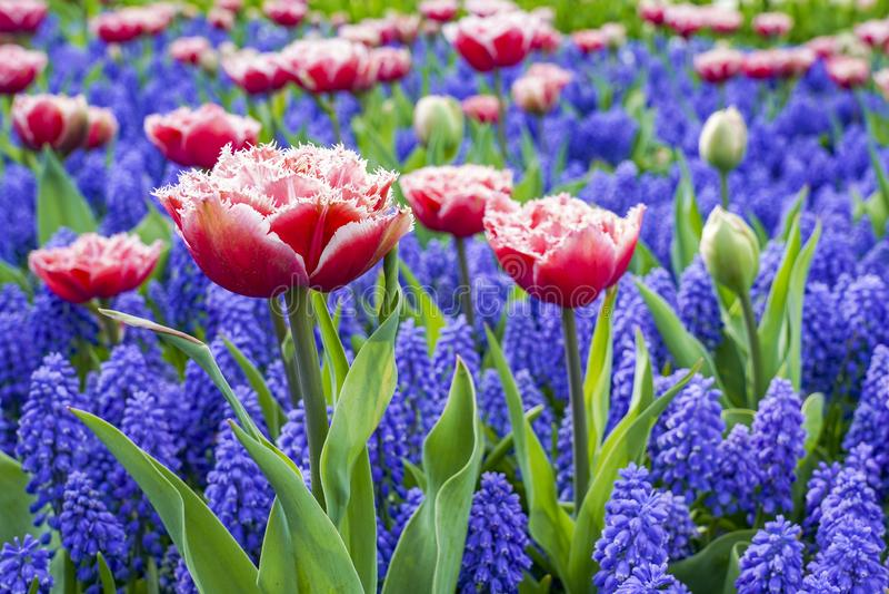 Un letto di fiore con i tulipani rosa con gli arricciamenti bianchi con il muscari blu, fotografato dal lato immagine stock