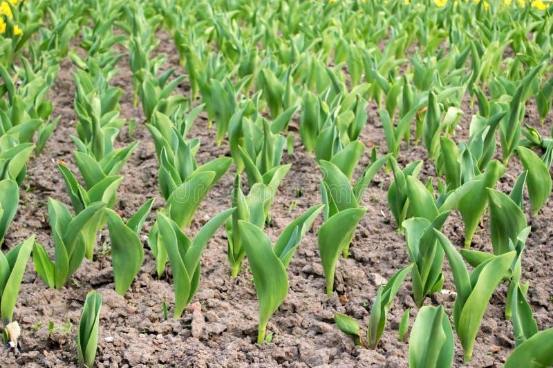 Un letto di fiore dei tulipani Germogli del tulipano Giovani piante della molla, germogli fotografia stock libera da diritti
