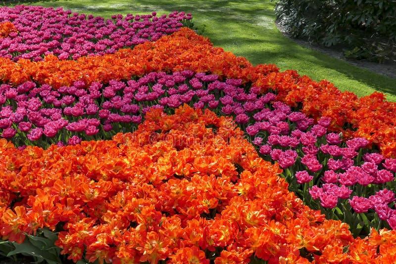 Un letto di fiore riempito di bei tulipani rosso-arancio e rosa fotografie stock