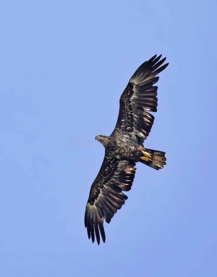 Un leucocephalus americano juvenil del haliaeetus del águila calva que caza en vuelo sobre el agua en Ontario, Canadá imagen de archivo