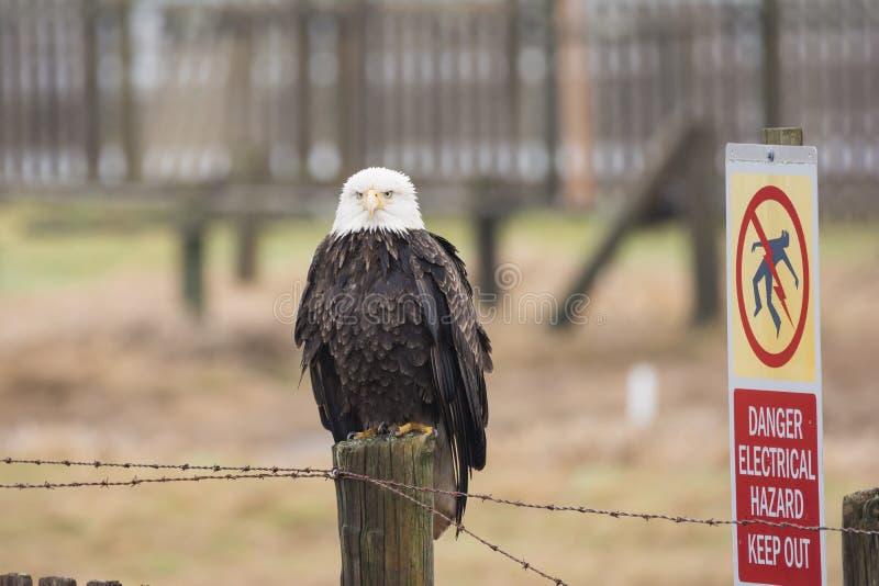 Un leucocephalus chauve d'Eagle Haliaeetus était perché sur un fenc en bois photographie stock