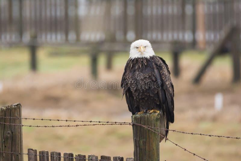 Un leucocephalus chauve d'Eagle Haliaeetus était perché sur un fenc en bois image stock