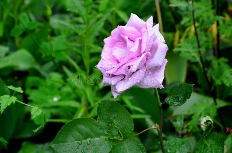 Un lilas s'est levé photos stock