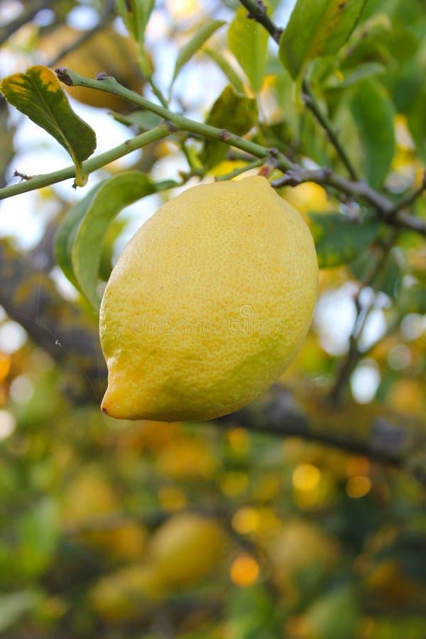 Un limone grassoccio su un albero fotografia stock