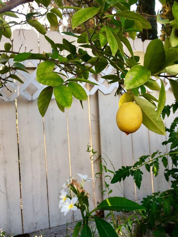 Un limone sull'albero fotografia stock libera da diritti