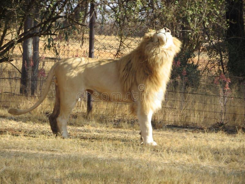 Un lion photo stock