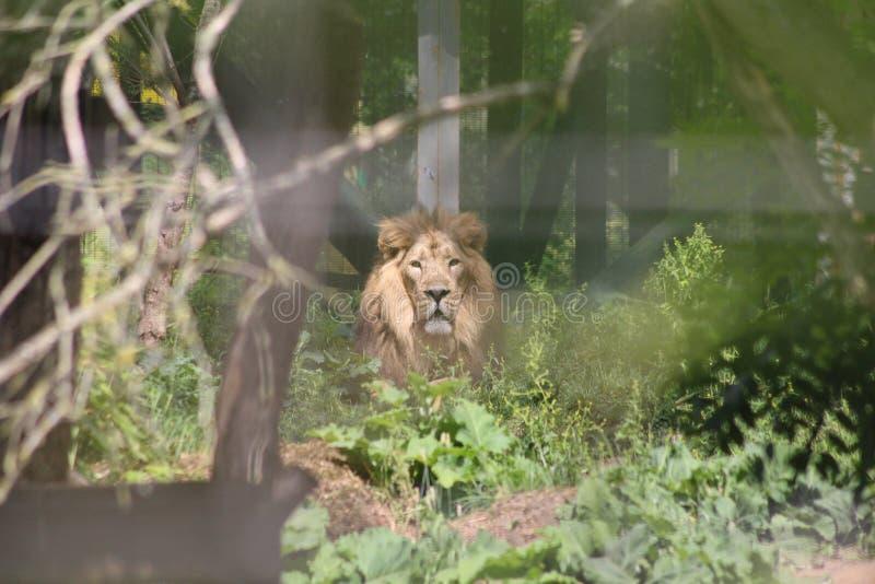 Un lion regardant fixement des bois photo stock