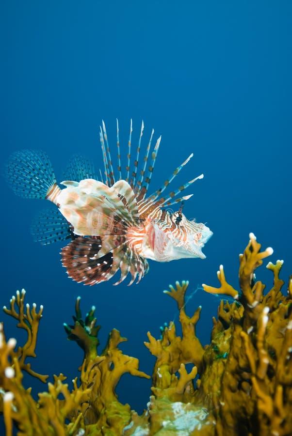 Un lionfish comune (miglia del Pterois) immagini stock libere da diritti