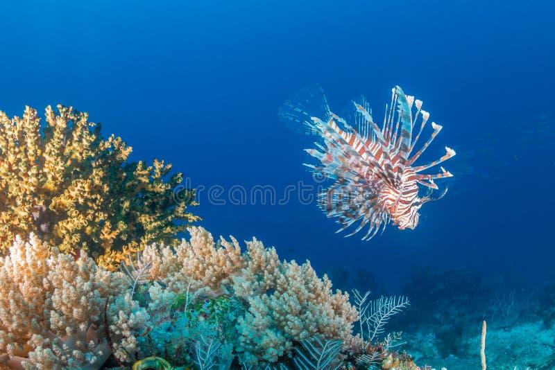 Un lionfish sur un récif tropical photographie stock libre de droits