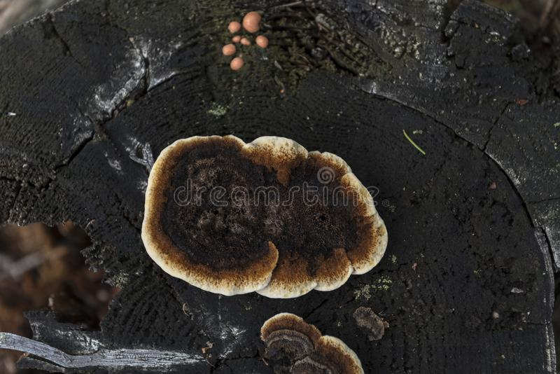 Un liquen que crece en un tocón de árbol imagen de archivo