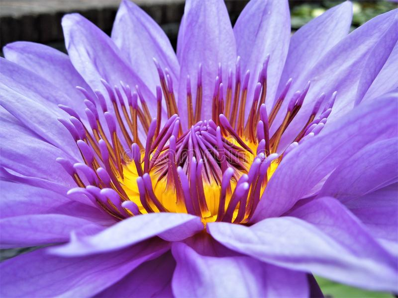 Un lirio de agua púrpura de seda foto de archivo