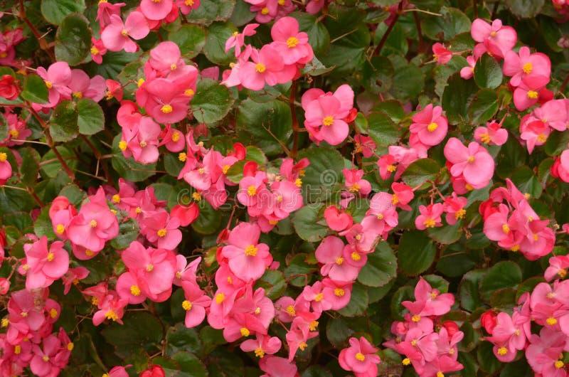 Un lit des bégonias roses photographie stock