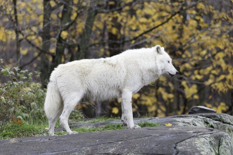 Un lobo ártico solitario imagenes de archivo