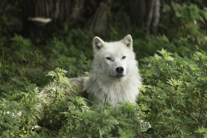 Un lobo ártico solitario que descansa en un área sombreada imagen de archivo