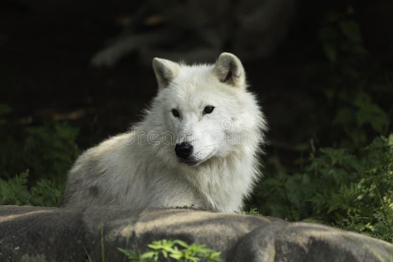 Un lobo ártico solitario que descansa sobre una roca foto de archivo