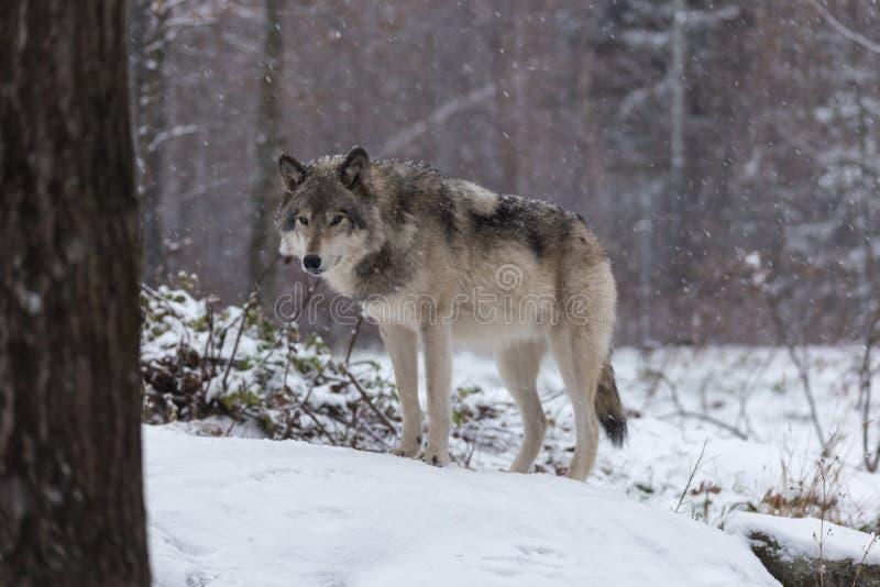 Un lobo de madera solitario en una escena del invierno fotografía de archivo