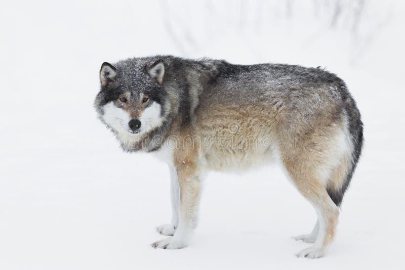Un Lobo En La Nieve Foto de archivo libre de regalías