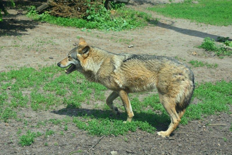 Un lobo está corriendo en el parque zoológico imágenes de archivo libres de regalías