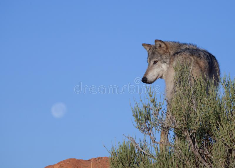 Un lobo que se coloca cerca de un arbusto del desierto con la luna en la distancia fotos de archivo libres de regalías