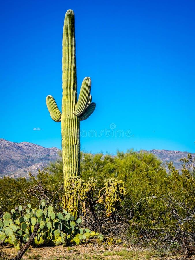 Un long cactus mince de Saguaro en parc national de Saguaro, Arizona image libre de droits