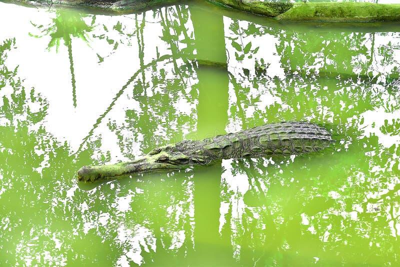 Un long crocodile de bouche dort en cette rivière à la ferme d'animaux dans Kuching, Sarawak photo libre de droits