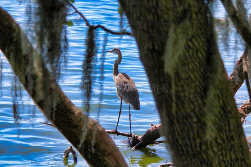 Un long oiseau à jambes solitaire sur les eaux affilent image libre de droits
