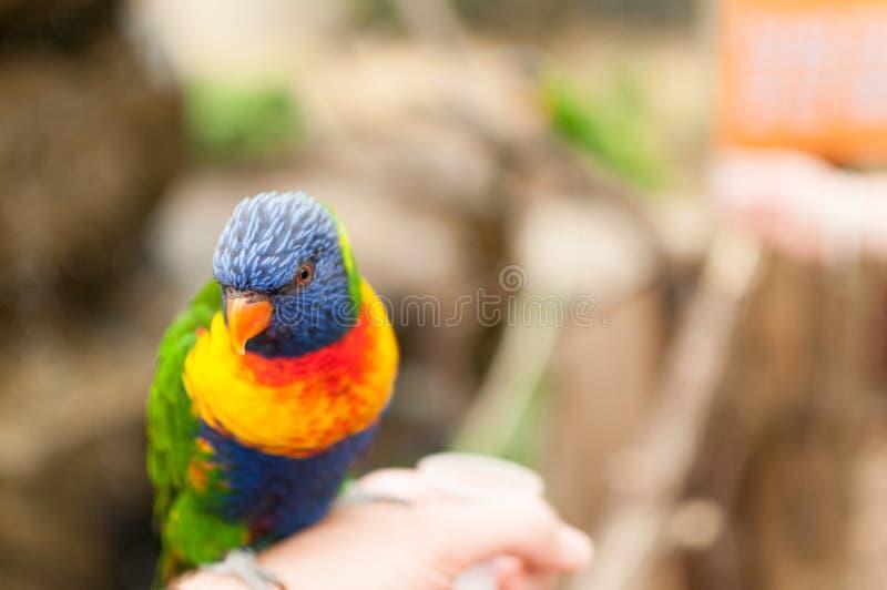 Un lorikeet dell'arcobaleno appollaiato su una mano fotografia stock libera da diritti