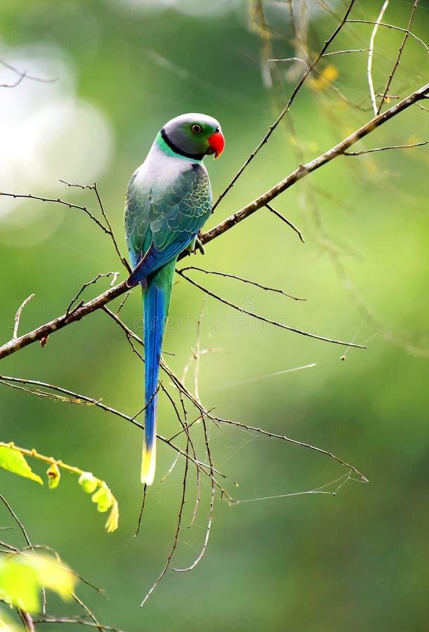 Un loro verde salvaje en bosque verde, foto de archivo libre de regalías