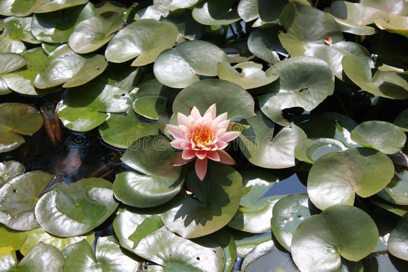 Un loto rosado vibrante florecido imagenes de archivo