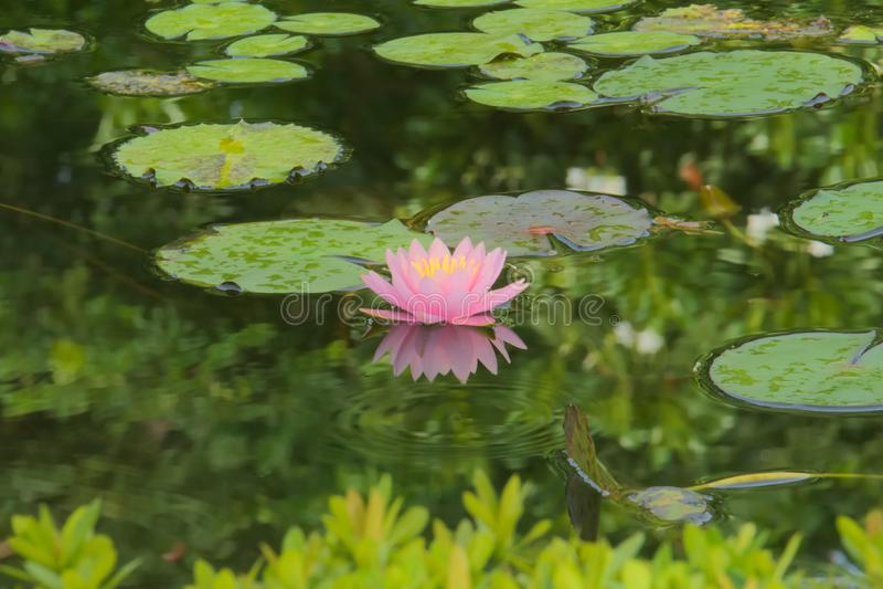 Un lotus rose et simple mou, avec le centre jaune, dans un bel étang de jardin photo stock