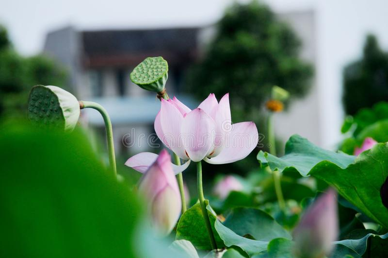 Un lotus unique dans l'étang images libres de droits