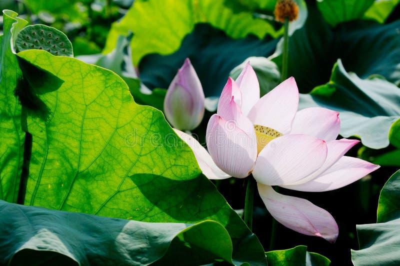 Un lotus unique dans l'étang image libre de droits