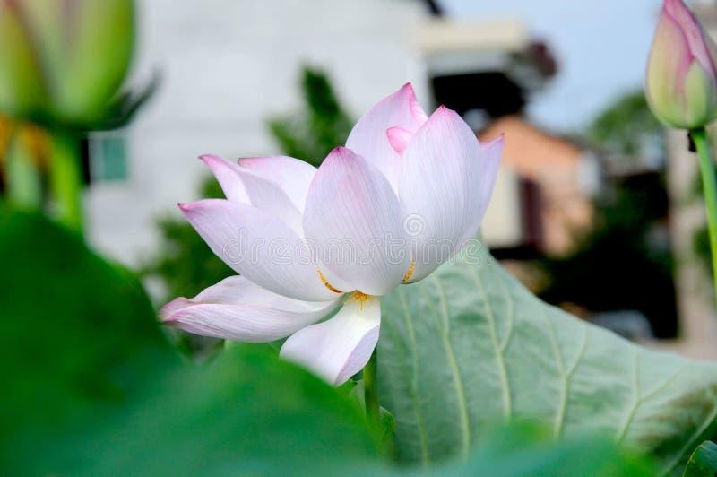 Un lotus unique dans l'étang photos stock