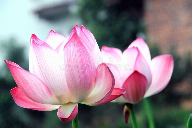 Un lotus unique dans le lac vert image libre de droits