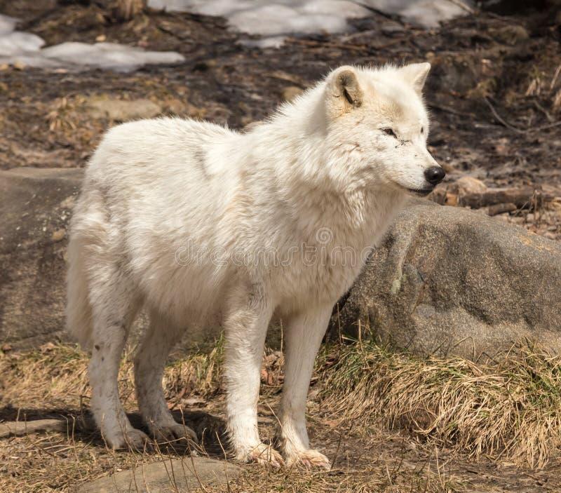 Un loup arctique solitaire en hiver photos libres de droits