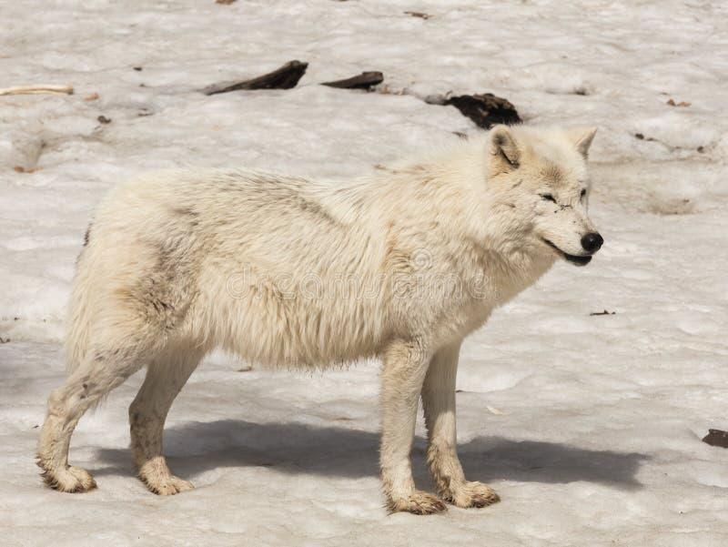 Un loup arctique solitaire en hiver images stock