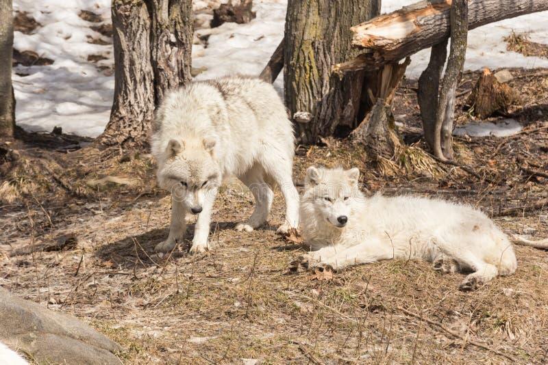 Un loup arctique solitaire en hiver image libre de droits