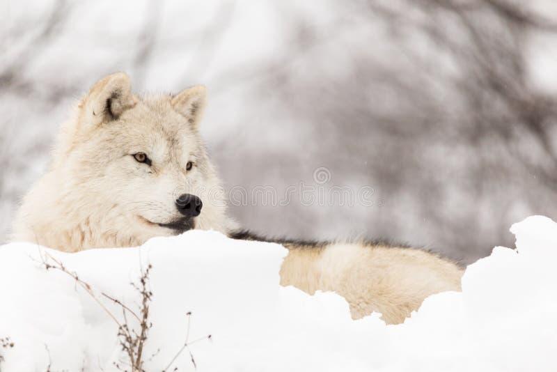 Un loup arctique solitaire pendant l'hiver photographie stock libre de droits