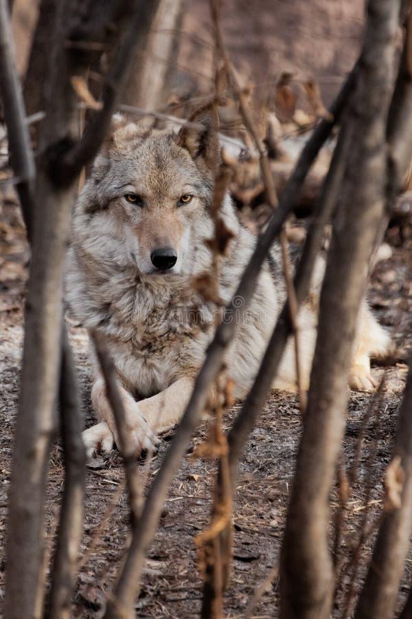 Un -loup se trouve parmi les bosquets d'arbres Loup gris pr?dateur puissant dans les bois en premier ressort photo libre de droits