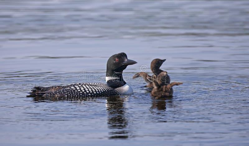 Un lunatico comune il immer di Gavia che guarda i suoi due pulcini ha spanto le loro ali di mattina mentre nuota, Ontario, Canada immagini stock