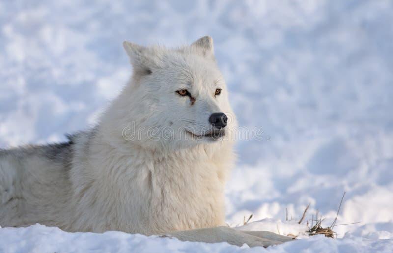 Un lupo artico che cerca nella neve un giorno di inverno freddo nel Canada immagini stock